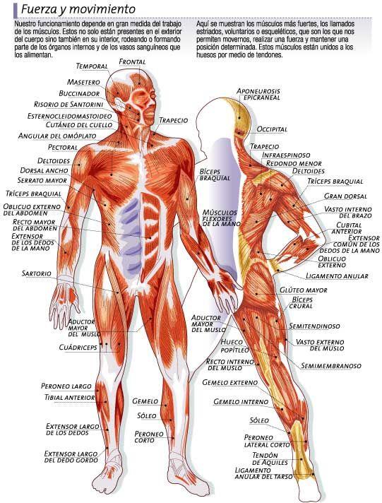 musculos | TODO NUESTRO CUERPO | Pinterest | Músculos, Anatomía y ...