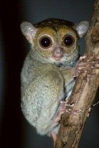 singapuar Tarsius Bancanus primata terkecil di dunia  Hewan Langka Di Indonesia