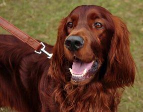 dog breeds of ireland   The Dog Breeds of Ireland - Irish Setter