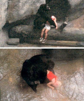 Binti Jua,the gorilla who saved a 3 yr old boy that climbed the wall around her zoo enclosure & fell 18 feet onto concrete below,rendering him unconscious with a broken hand & a vicious gash on the side of his face.Binti walked to the boy while helpless spectators screamed,certain the gorilla would harm the child.Binti picked up the child,cradling him as she did her own infant,gave him a few pats on the back, and carried him 59 ft to an access entrance,so that personnel could retrieve him.