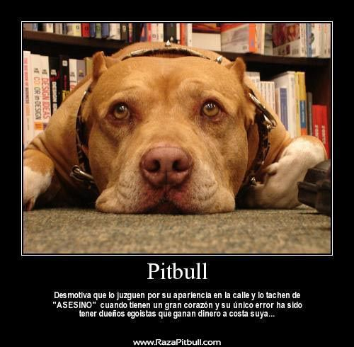 Ms de 25 ideas increbles sobre Terrier de pitbull en Pinterest