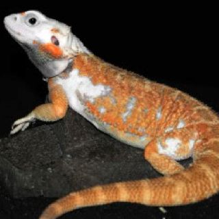 Piebald Bearded Dragon...I didn't know they existed