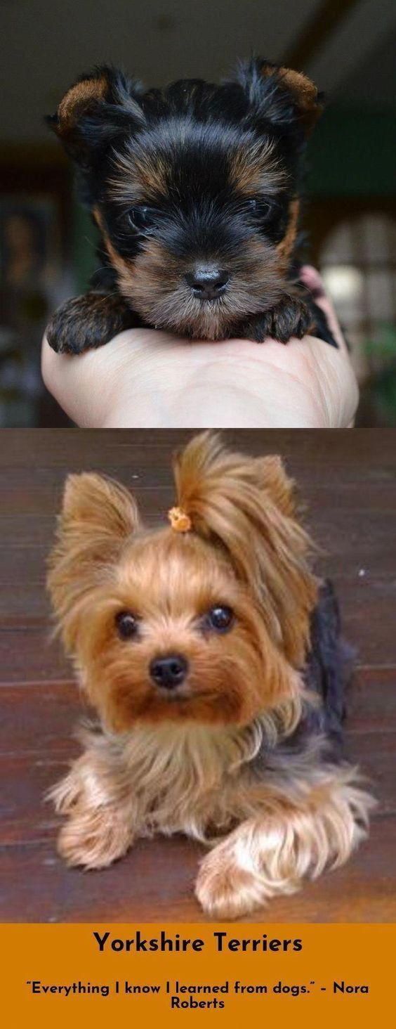 Yorkshire Terrier Puppies are the cutest dogs in the world that come from Yorksh…