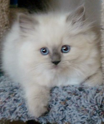 Blue Point Ragdoll Kitten from www.RagdollCatKittens.com