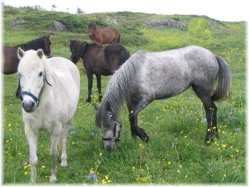 Newfoundland Pony: Critically endangered!  Less than 200 breeding animals left in the entire world! That means is more rare than Siberian tigers!!!!! Help save this beautiful animal from becoming extinct forever.
