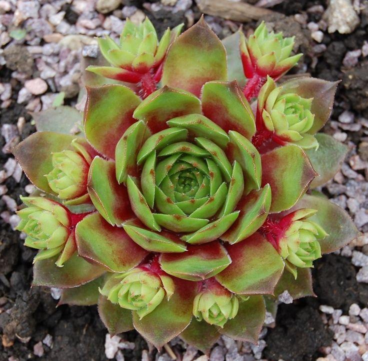 Sempervivum 'Atroviolaceum (Heimlich)'