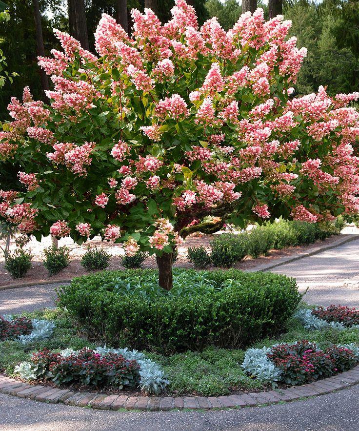 'Pink Diamond' Hydrangea Tree  Bloom period: summer to fall