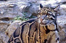 Felidae — Wikipédia