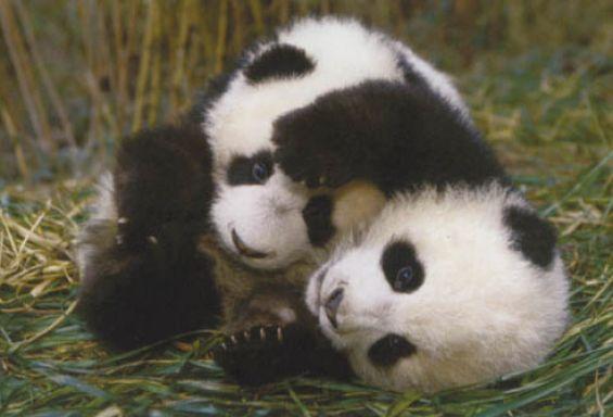 giant panda cub | Giant panda bear cubs pictures 4