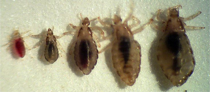 What is the life cycle of head lice?