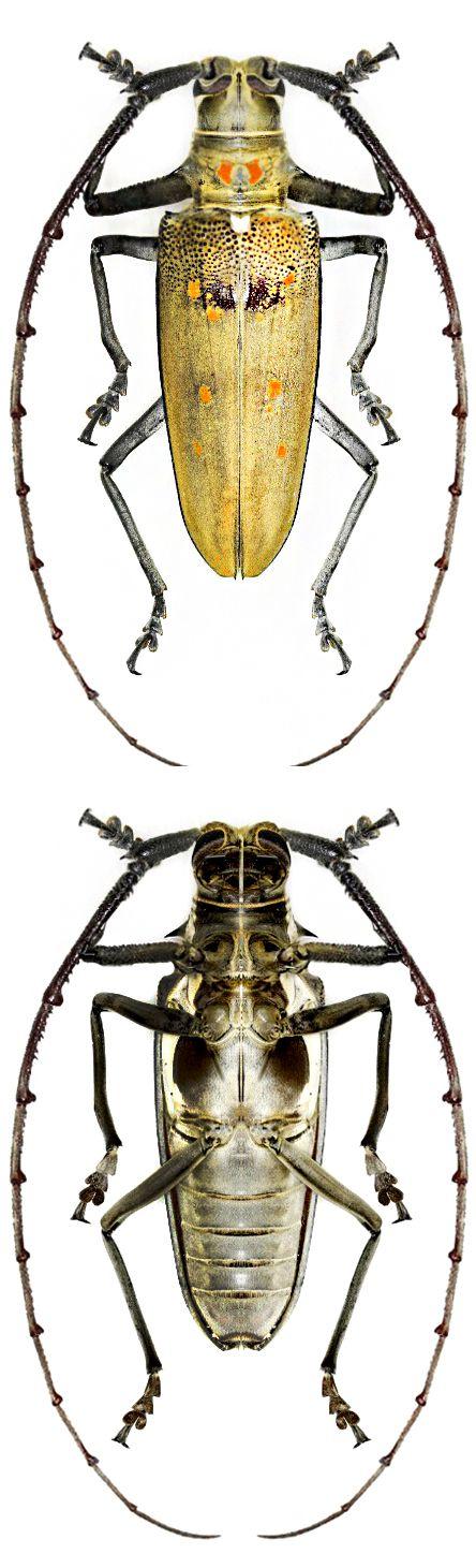 Batocera numitor. É uma espécie de escaravelho da família Cerambycidae. É conhecido na China, Java, Índia, Laos, Nepal, Mianmar, Filipinas, Sulawesi, Sri  Lanka, Tailândia, Sumatra, e Vietnam. Alimenta-se de plantas.