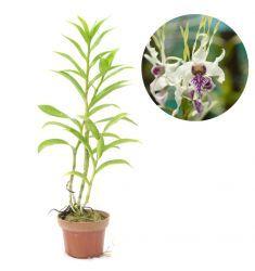 Dendrobium Stratiotes Rp 225,000