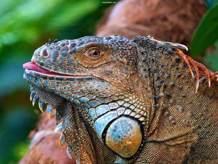 Visit LizardGifts.net for more cool lizard and reptile photos
