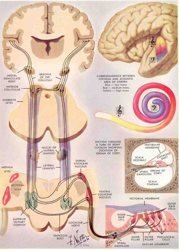 The 111 best Anatomy of ears images on Pinterest | Neurology ...
