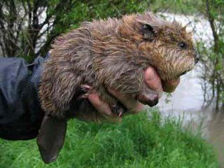 Okay, it's not a cat, it's a baby beaver, but it is cute enough to be a cat!