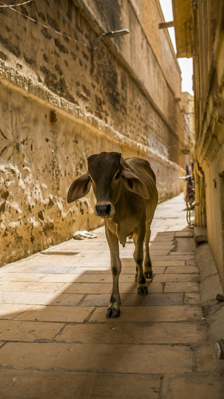 A Indian cow at the Jaisalmer fort in Rajasthan