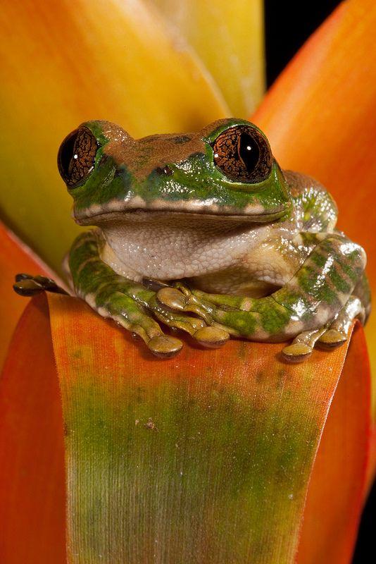 Big Eye Treefrog (Leptopelis vermiculatus) | Flickr - Photo Sharing!