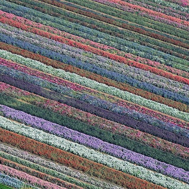 Rows of flowers in Lompoc, California. SBA John Wiley, via Flickr