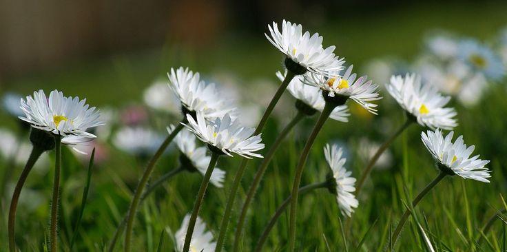 Daisies, Bellis perennis A Gaenseblume4 - Bellis perennis - Wikipedia, the free encyclopedia