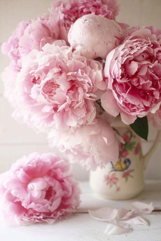 Картинка цветы пионы нежные