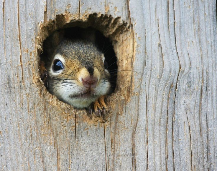 So cute! - Baby red squirrel