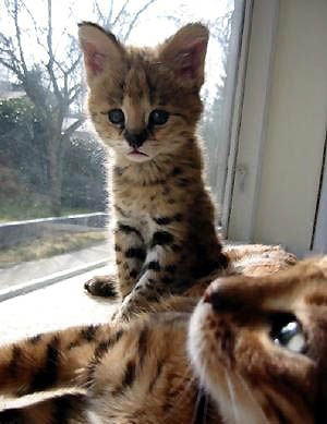 This picture of a baby African Serval cub, the foundation cat of the domestic Savannah hybrid!!