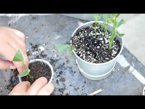 How To Grow Lemon Tree From Cuttings Clone Fruit Trees You