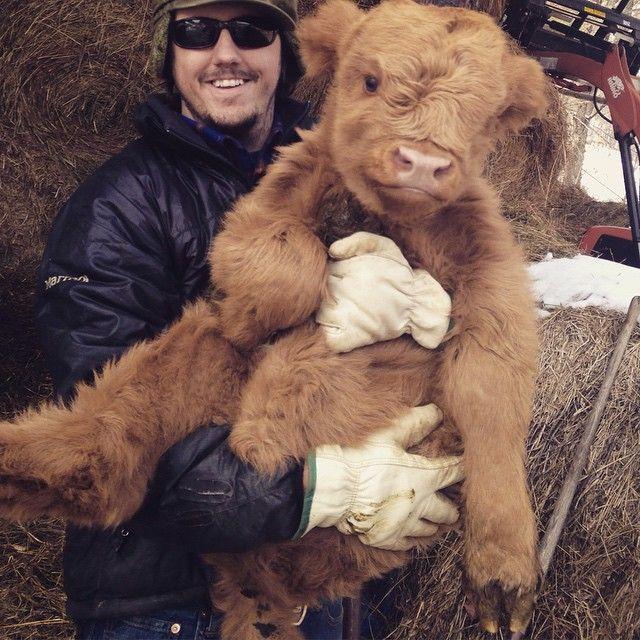 Scottish Highland calf looks just like a teddy bear!
