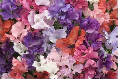 Organic Sweet Pea Royal Family Heirloom Flower Seeds  etsy