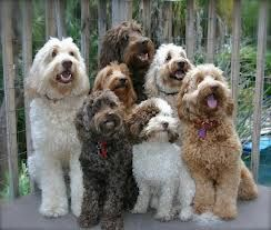 13 Best Tampa Bay Australian Labradoodles Images On