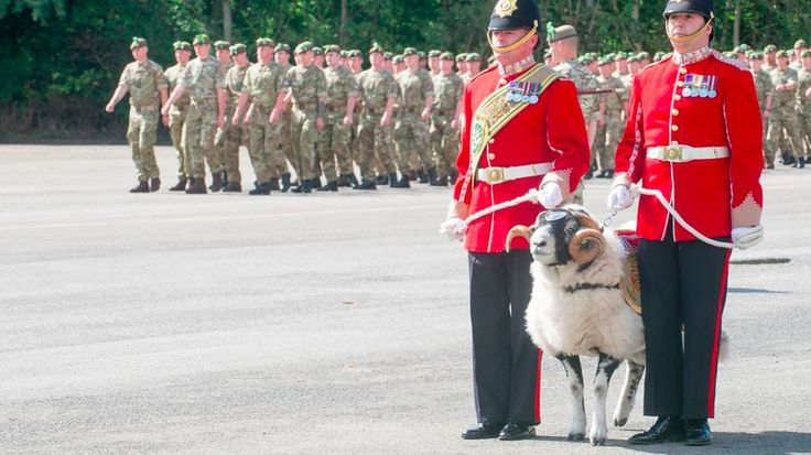 A Swaledale ram was promoted to the rank of lance corporal in the British Army's Mercian Regiment.