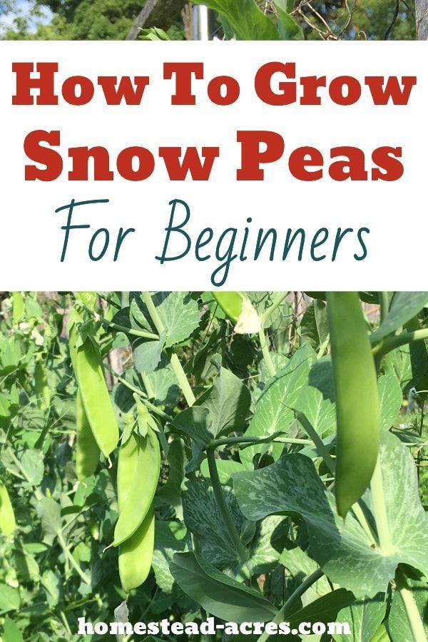 How To Grow Snow Peas Easy Tasty Treat Growing Peas Pea