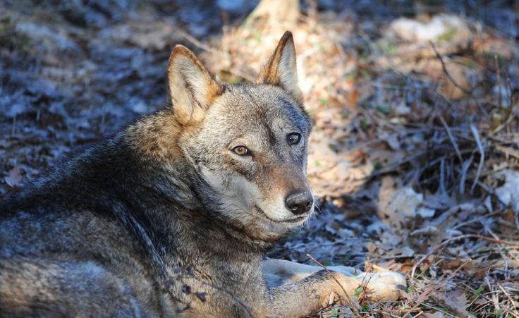 Uomini e lupi, ''a caccia'' di una ricetta per la convivenza
