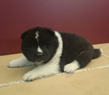 Akita puppy for sale in FRESNO, OH. ADN-53200 on PuppyFinder.com Gender: Male. Age: 5 Weeks Old