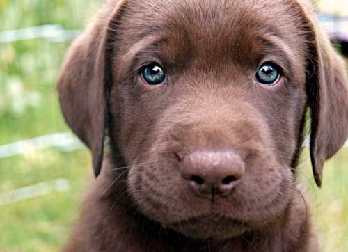 Cute Chocolate Lab