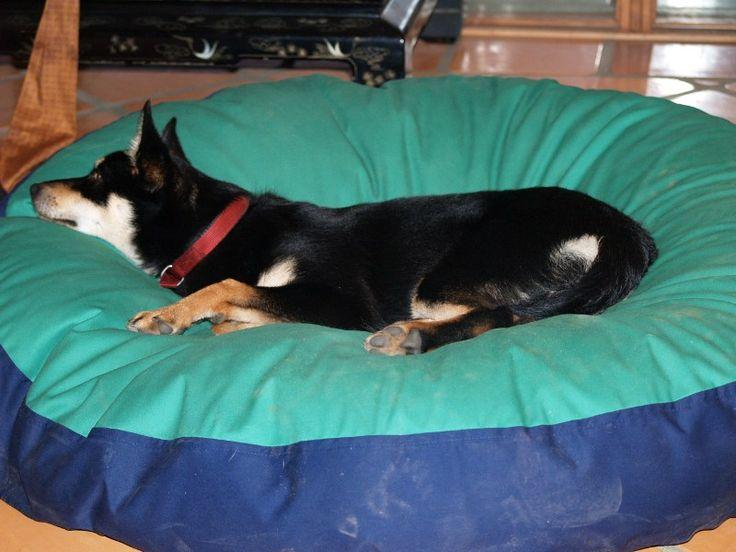 Boots is Kelpie x Maremma - Rosa Glen, WA. So much sheepdog so fast asleep. #Kelpie #Maremma #Sheepdog #bed #pet #petbed #beanbed #dog