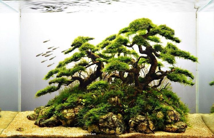 Java moss tree in fish tank awesome sash pinterest for Fish tank tree