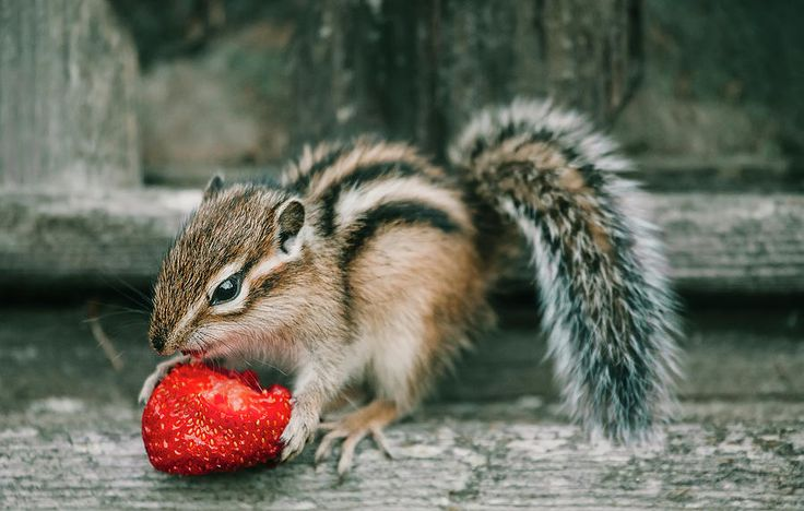 Chipmunk And Strawberry Photograph by Oksana Ariskina by Oksana Ariskina on @pixels and @fineartamerica Cute and funny wild animals! Buy print and other product with my fine art photography online: www.oksana-ariskina.pixels.com   #OksanaAriskina  #FineArtPhotography #HomeDecor #FineArtPrint #PrintsForSale #Chipmunk #Nature #Funny #squirrel #wildanimals #funny #humor #howdoyoupixels #Strawberry
