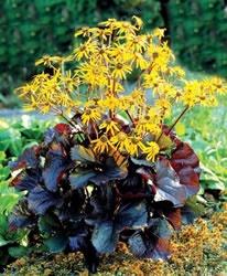 Ligularia Dentata U0027Britt Marie Crawfordu0027 Common Name : Black Leaved  Ligularia, Blooms Mid To Late Summer Bearing Clusters Of Bright Golden  Daisy Flowers, ...
