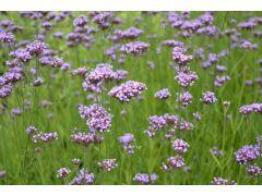 Verbena bonariensis - sporýš argentinský Zahradnictví Krulichovi - zahradnictví, květinářství, trvalky, skalničky, bylinky a koření