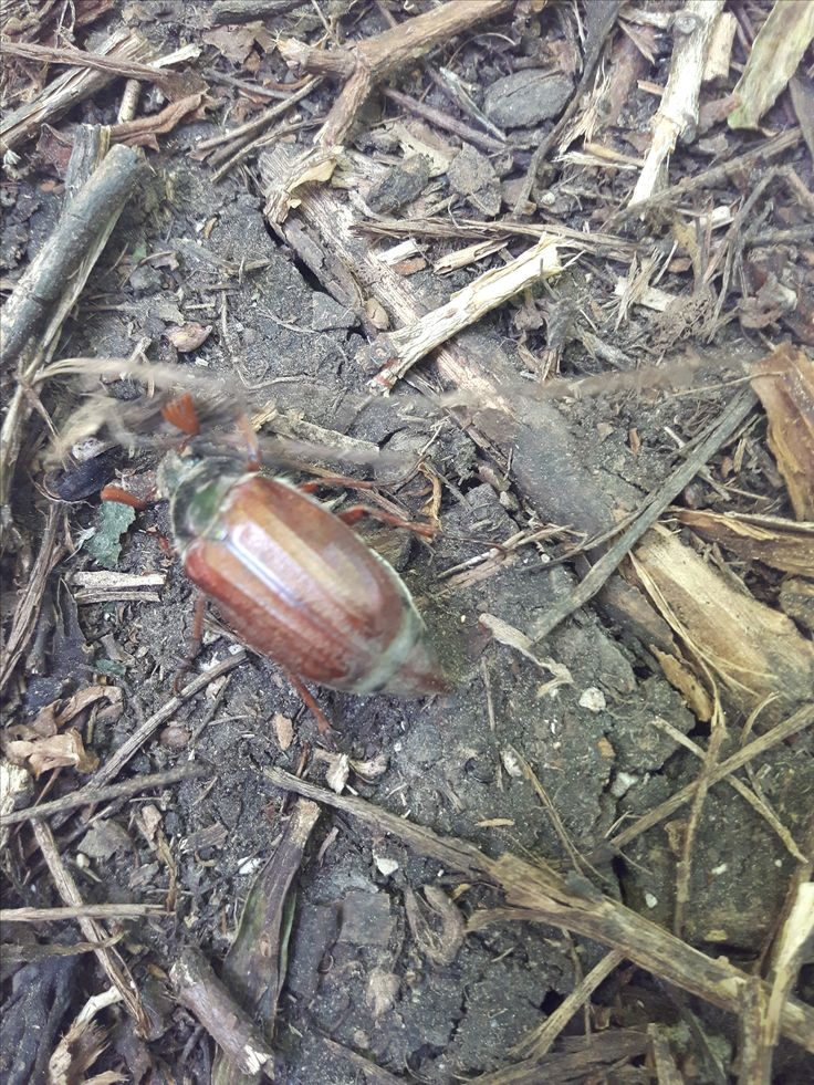 Chroust obecný (Melolontha melolontha) pálava