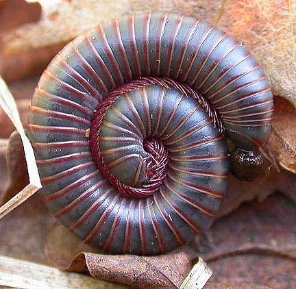 Millipede Spiral...loved seeing these little guys come out after a good rain in the desert...as a kid.
