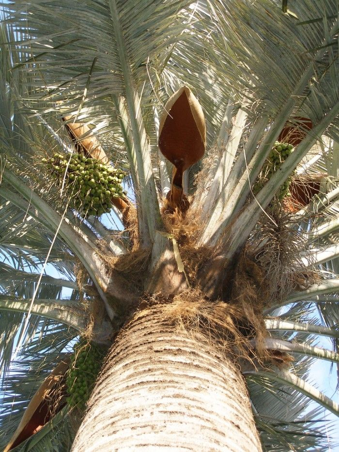 "choices for inland extremes:Butia odorata (pindo palm) Brahea spp. (Mexican blue palm and many others) Jubaea chilensis (Chilean wine palm) Chamaerops humilis (Mediterranean fan palm) C. humilis var. argentea AKA ""cerifera"" (blue Atlas fan palm) Dypsis decipiens (Manambe palm) Livistona decora (ribbon palm) L. nitida (shiny Australian fan palm) L. australis (Australian fan palm) Trithrinax spp. (Argentine fan palm) Sabal spp. (palmettos) Trachycarpus spp. (windmill palms)"