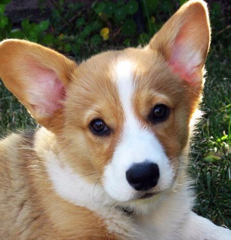 Welsh Corgi | Rowland the Pembroke Welsh Corgi | Puppies | Daily Puppy