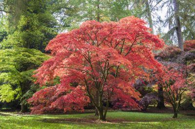 Hot Weather Japanese Maples: Learn About Zone 9 Japanese Maple Trees If you are looking into growing Japanese maples in zone 9, you need to know that you are at the very top of the plants' temperature range. This can mean that your maples may not flourish as you hope. Click here for tips and tricks zone 9 gardeners use to help their maples thrive.