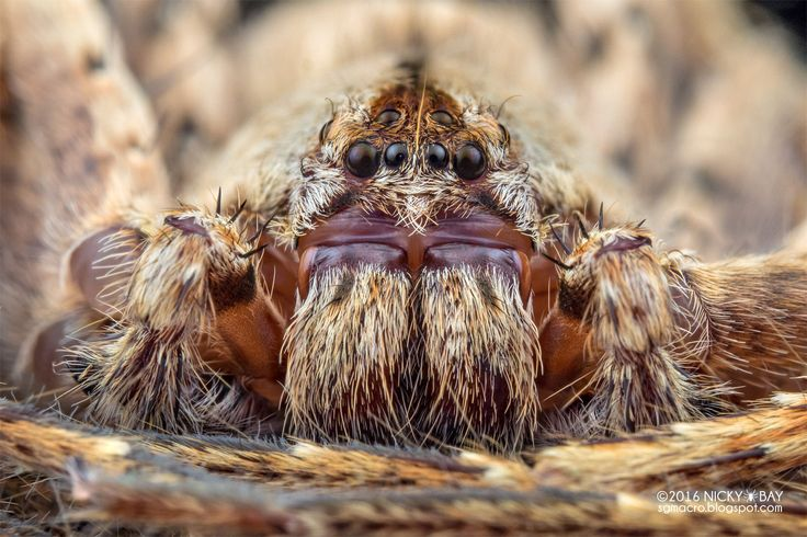Huntsman spider (Sparassidae) - PA090087