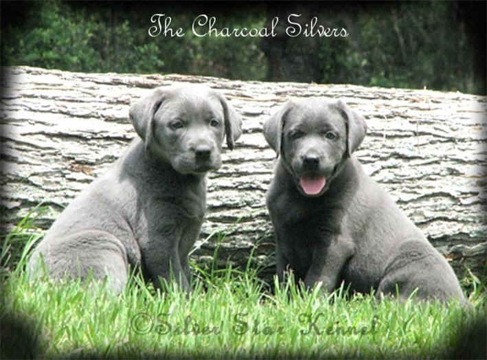 Silver Labrador Retrievers, Silver Labs, Silver Labradors and Labrador Breeders.