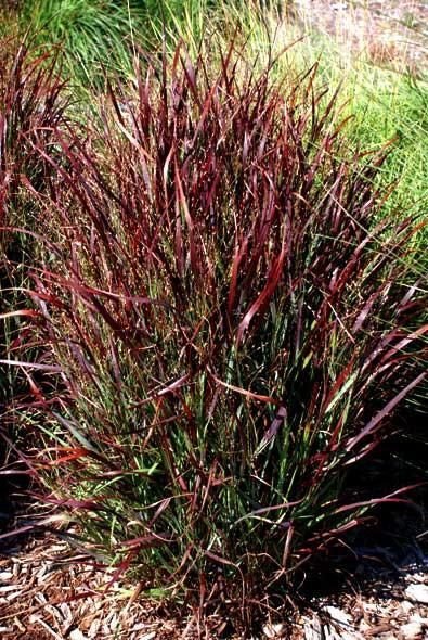 23 Best Ornamental Grasses In The Garden Images On