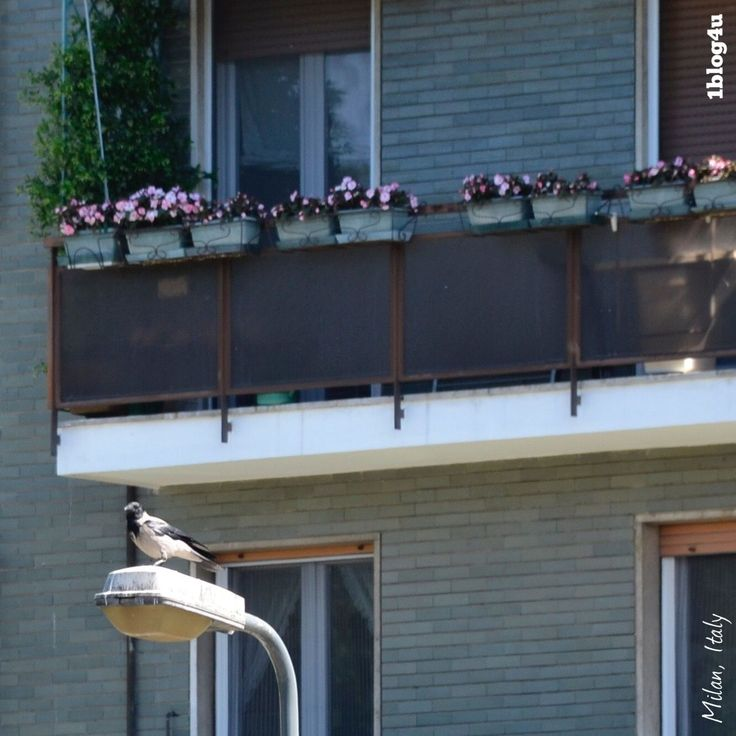 #Corvus #Cornix #corvids #ravens #crows #photography #1blog4u #Gabriella #Ruggieri #Milano #Italy #igersmilano