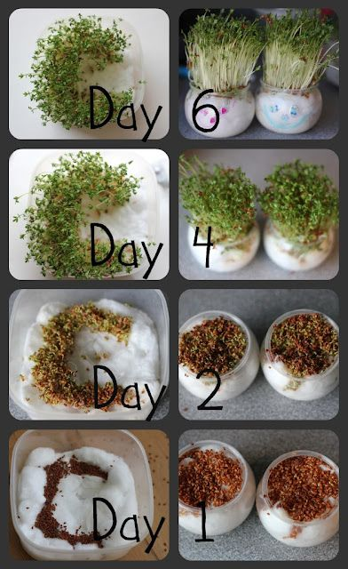 Growing heads and letters from cress!